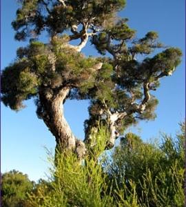 oils_teatree_tree2