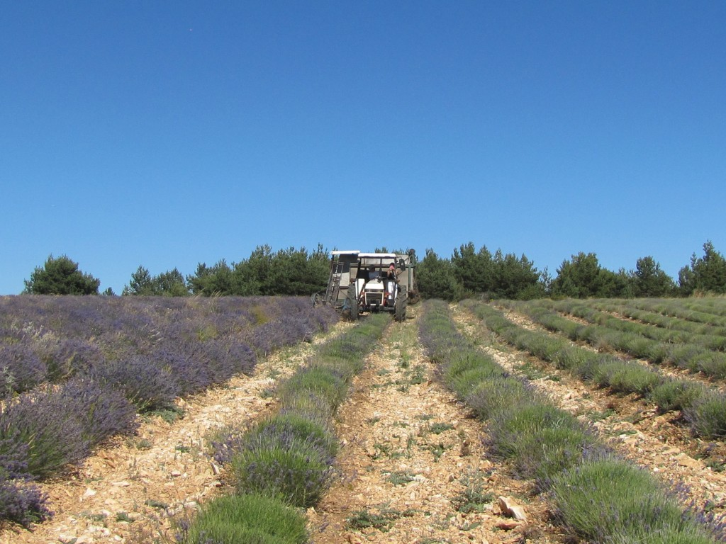 Eric farming his lavender