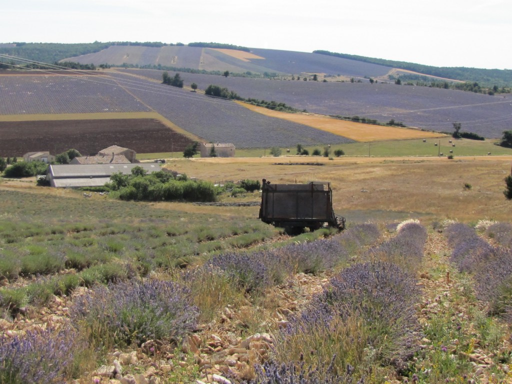 """Here in the Highest mountains of Provence, you can see the most pristine lavender. A Pure Angustifolia that has been untouched by hybrids or GMO's. 20km North of Simiane du Rotande, Eric's place, a gem that is unknown to tourists. They don't see many French people either. It is so quiet up on this mountain top, that the """"Mistral"""" sings its windy song as you hike up these tall grades of the mountain lavender."""