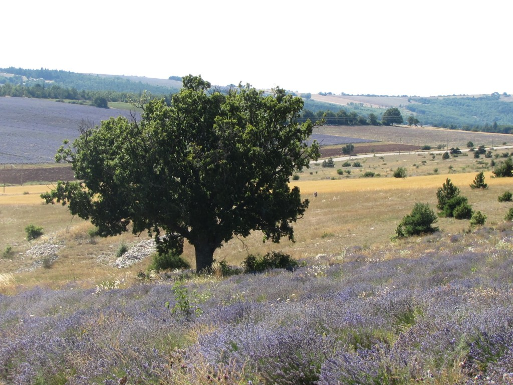 Another view of Eric's mountain lavender with a quiet oak tree in the rocky soil.