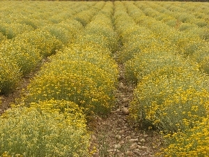 Cultivated Helichrysum. Our friends at Essences Naturelles Corses - Corsica, France.