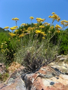 Wild Corsican Helichrysum Italicum, serotinum growing near the Mediterranean sea - Corsica, France