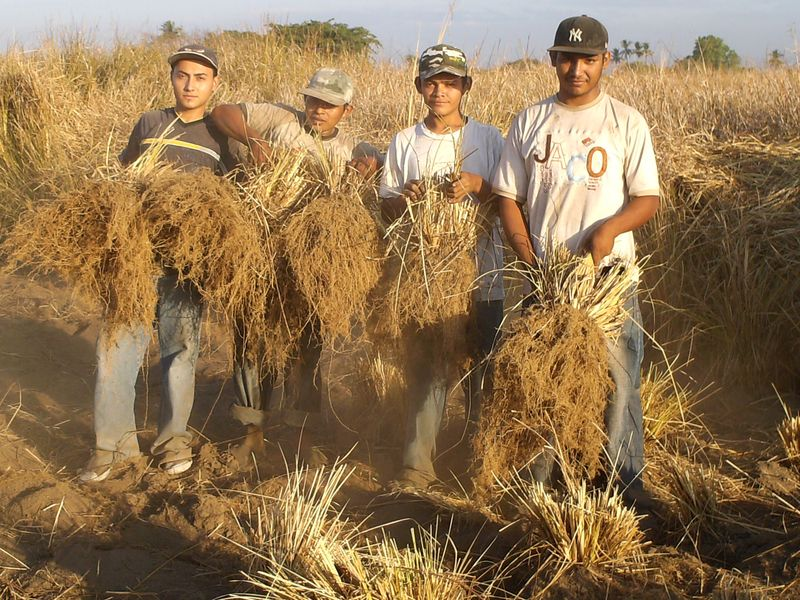 That is a lot of time to wait to make some vetiver oil! YIELD: It takes 150kg of vetiver root to produce 1kg of oil!