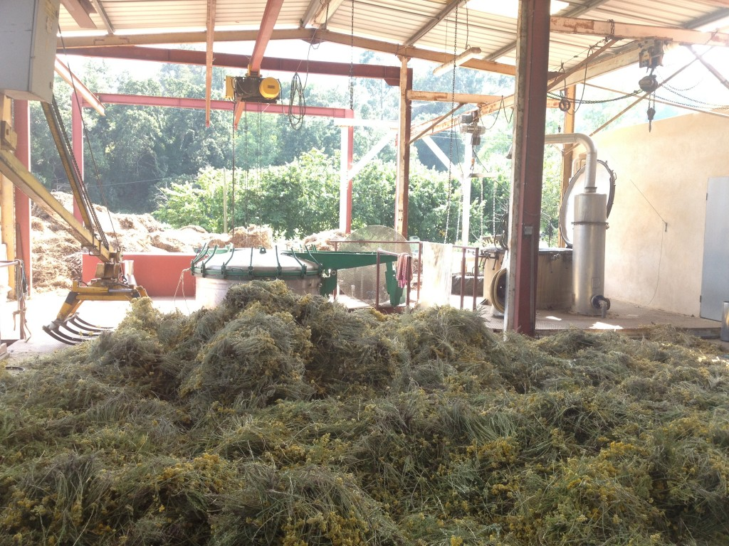 Helichrysum fresh - harvested at 5am for critical bloom.  Distilled for 1.5 hour to capture peak constituents. Distillation unit shown in the background.
