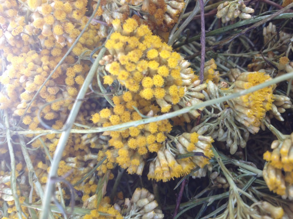 A Helichrysum close up!